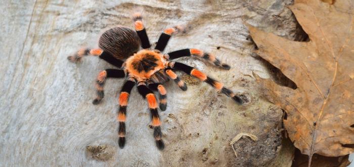 Soñar con Arañas peludas