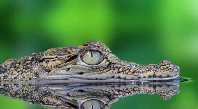Soñar con cocodrilos