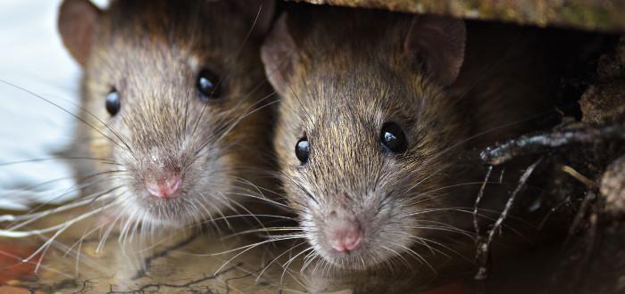 Soñar con ratas dos