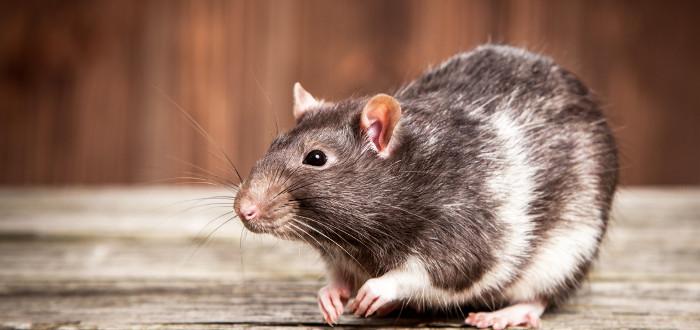 Soñar con ratas marrón