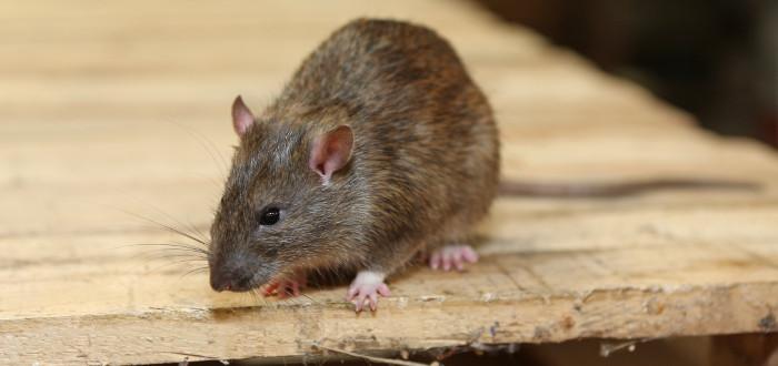 Soñar con ratas mesa