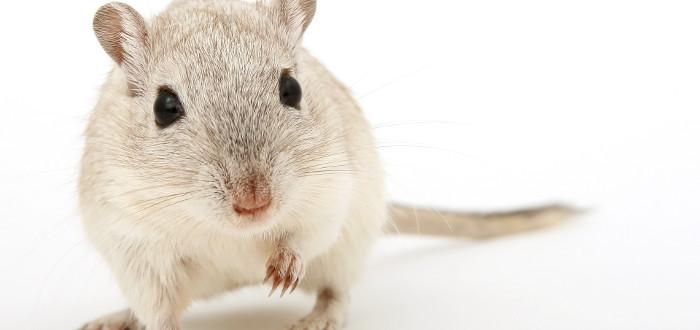 Soñar con ratones blanco