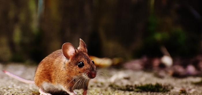Soñar con ratones marrón