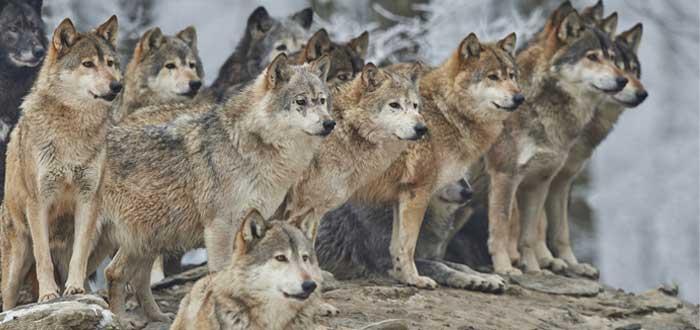 soñar con lobos 1