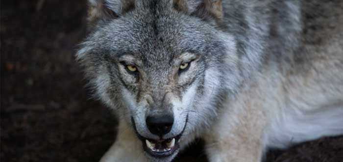 Soñar Con Lobo Significado E Interpretaciones Más Comunes