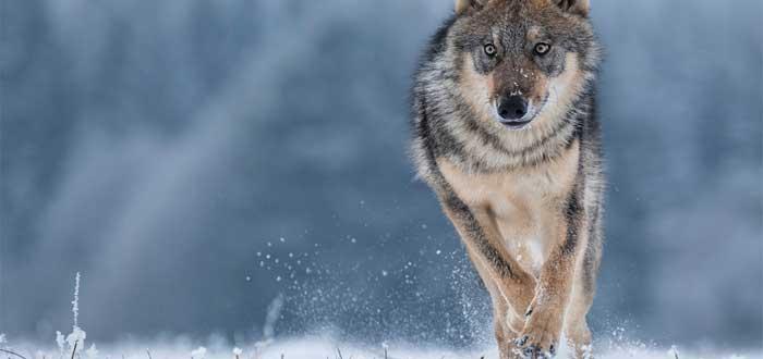soñar con lobos 3