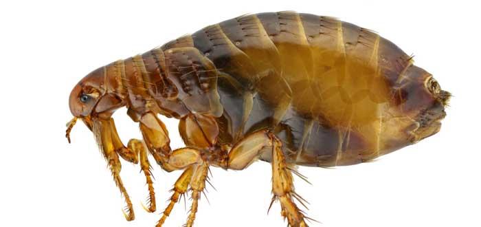 soñar con pulgas 1