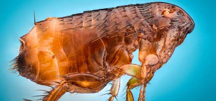 soñar con pulgas 2