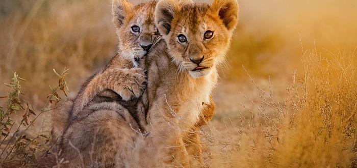 Soñar con leones cachorros
