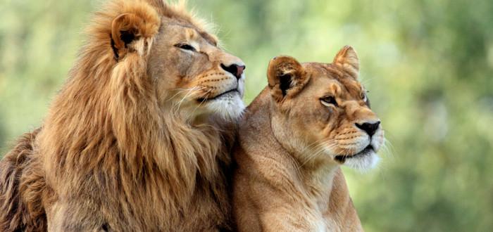 Soñar con leones pareja