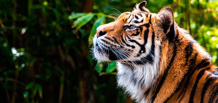Soñar con tigre 2