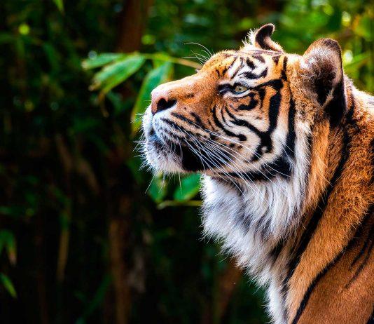 Soñar con tigres