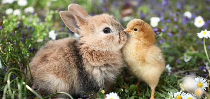 Soñar con conejos pollito