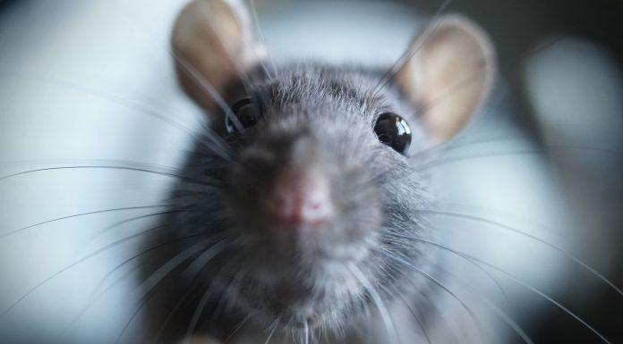 soñar con ratas y ratones 1