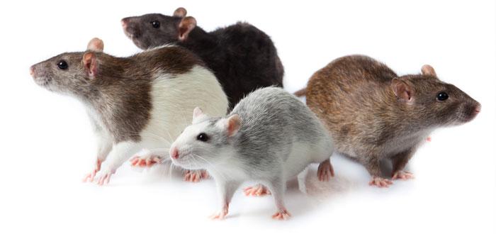 soñar con ratas y ratones 3