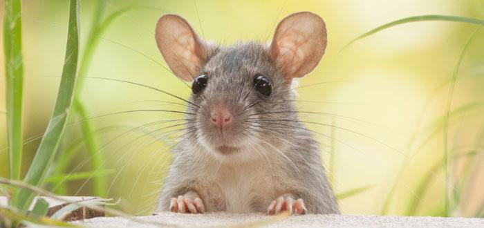 soñar con ratas y ratones 2
