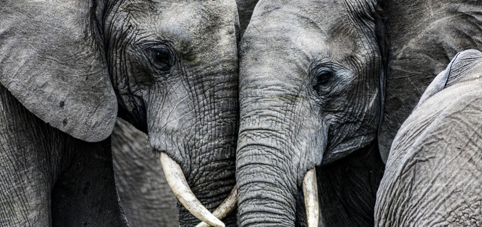 Soñar con Elefantes gris