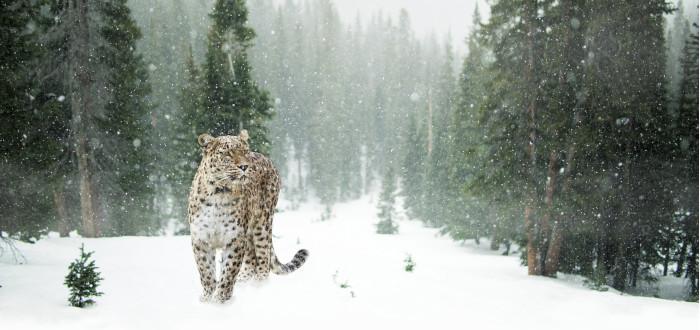 Soñar que está Nevando leopardo