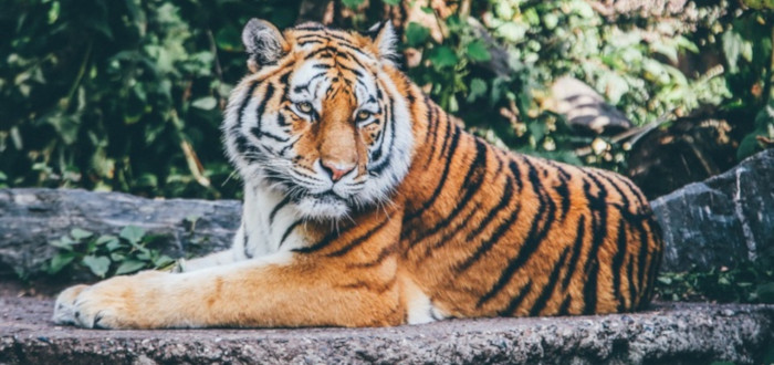 Soñar con Felinos Tigre